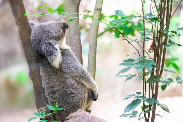 Ein wilder koala, der einen baum klettert