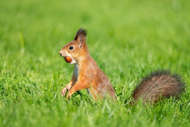 Ein wildes eichhörnchen, das im grünen graspark isst