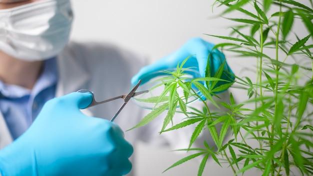Ein wissenschaftler trimmt cannabis sativa auf planung