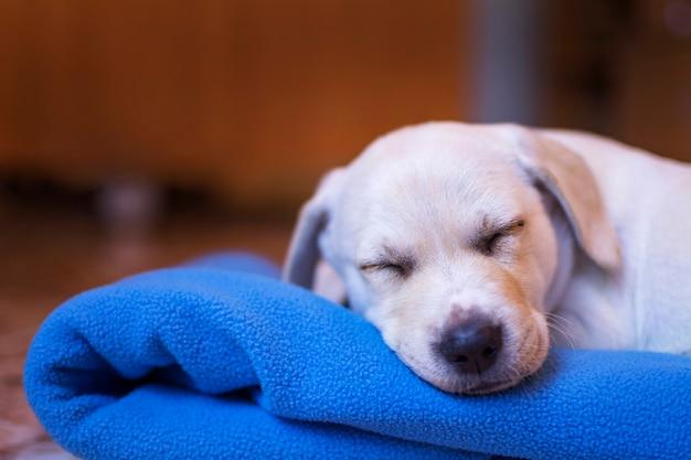 Ein wunderschöner labrador-welpe, der wunderbar auf seiner blauen decke schläft