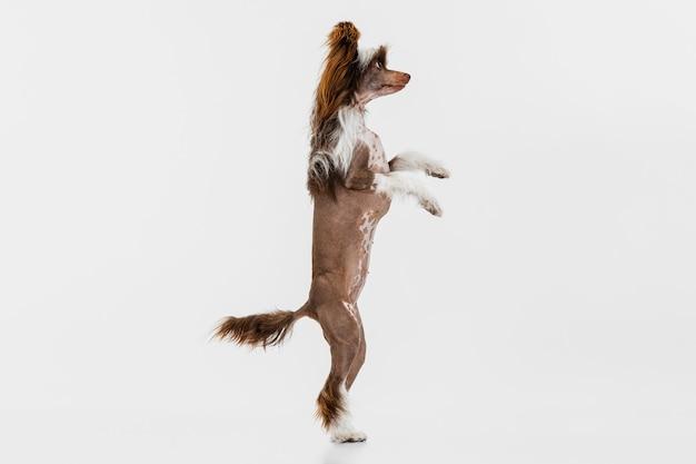 Ein wunderschöner rassehund, chinese crested dog, steht auf weiß