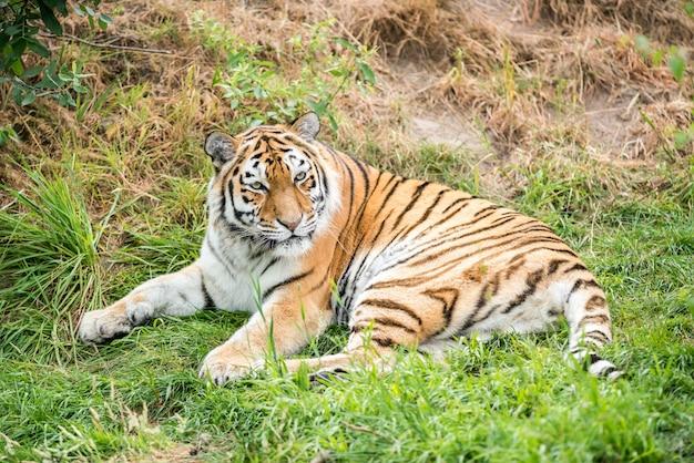 Ein wunderschöner tiger