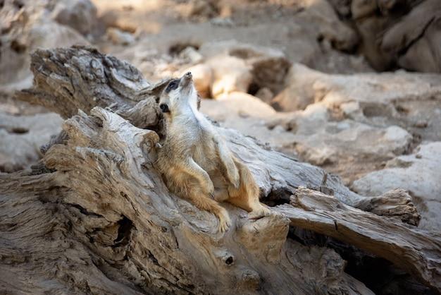 Ein wunderschönes foto von erdmännchen (suricata suricatta), auch bekannt als suricate. wildtiere, die auf afrika leben.