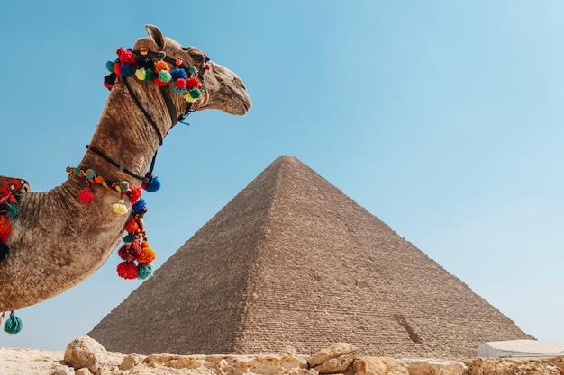 Ein wunderschönes kamel steht vor der kulisse der großen pyramide von gizeh