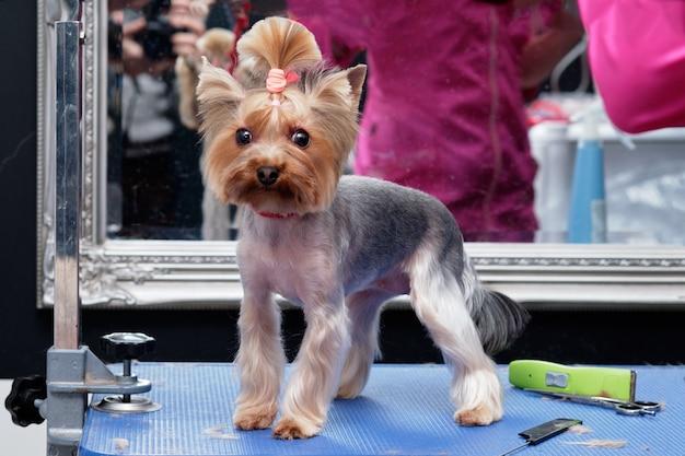 Ein yorsh terrier hund auf einem pflegetisch in einem tierschönheitssalon.