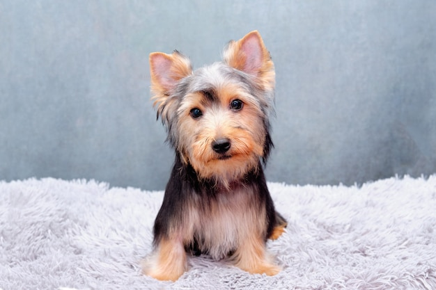 Ein yorsha-terrier-welpe liegt auf einem weichen teppich auf dem boden.