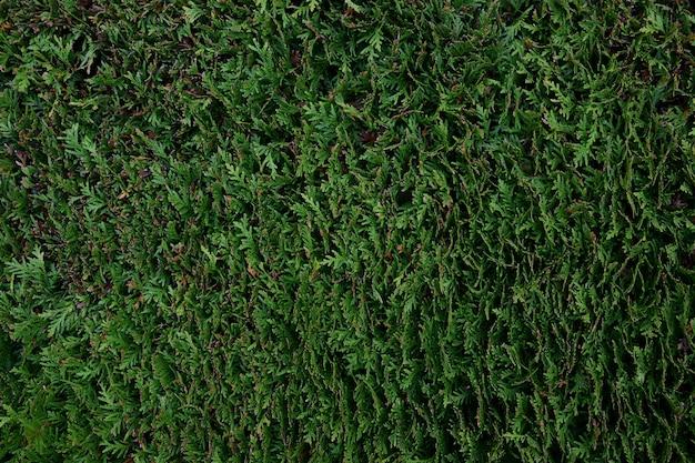 Ein zaun aus einer strauchpflanze einer thuja, der für den gesamten rahmen in perspektive bleibt