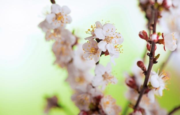 Ein zweig aprikose mit blumen und blättern in einem frühlingsgarten