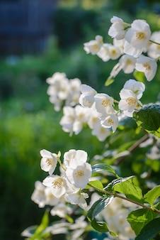 Ein zweig aus weißem jasmin auf einem verschwommenen