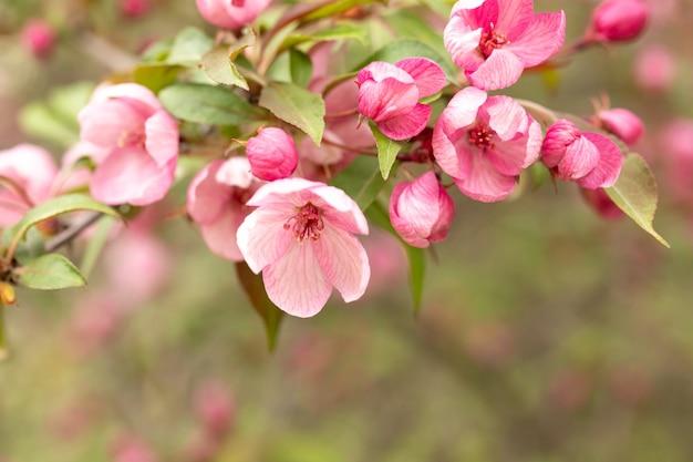 Ein zweig der blühenden wilden apfelbaumblumen auf unscharfem hintergrund