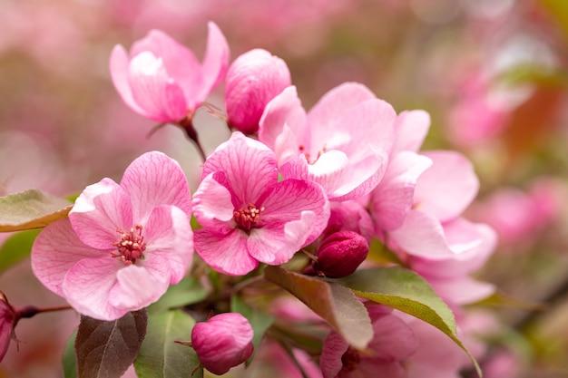 Ein zweig der blühenden wilden apfelbaumblumen auf unscharfem hintergrund Premium Fotos