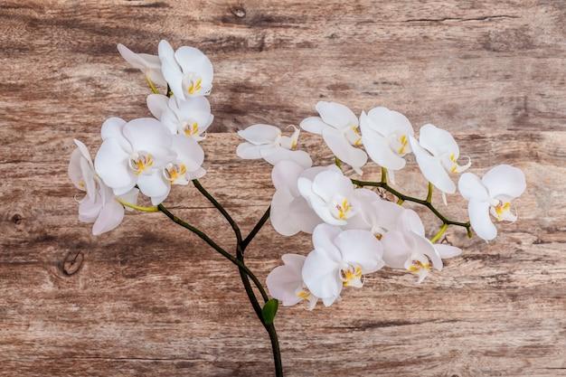 Ein zweig der weißen orchideen