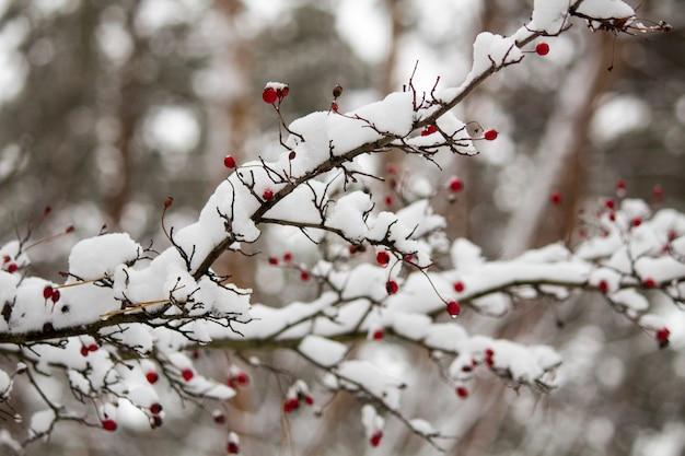 Ein zweig der wilden rose im schnee. winter schöne natur