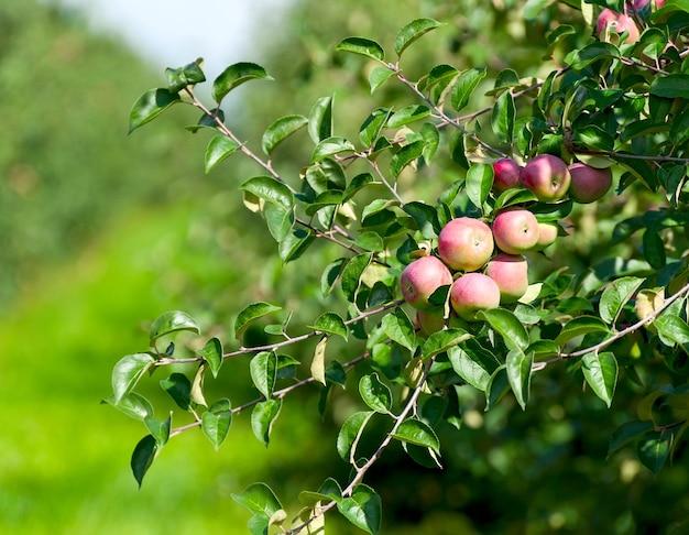 Ein zweig mit vielen roten äpfeln