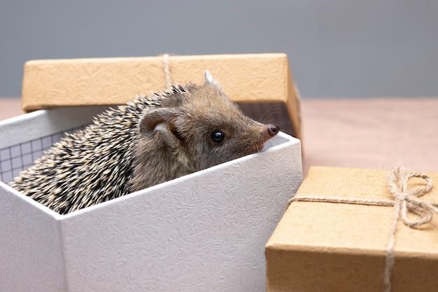 Ein zwergigel schaut aus einer geschenkbox