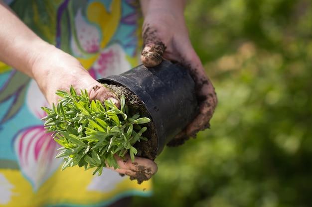 Eine aktive ältere frau, die garten macht, arbeitet während der schönen frühlings- / sommerzeit an ihrem riesigen botanischen garten