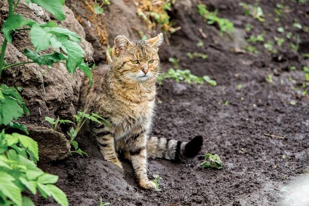Eine alte katze am ufer des flusses verfolgt die beute. jäger auf der jagd_