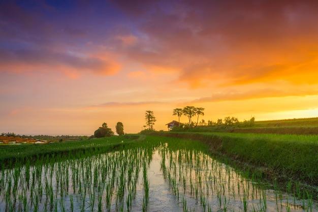Eine ansicht von neu gepflanzten reisfeldern mit grünem reis in einem feurig roten sonnenuntergang in nord-bengkulu, indonesien