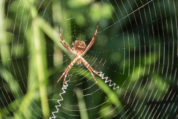 Eine argiope lobata pallas spinne, auf ihrem netz im garten