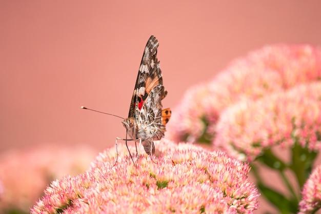 Eine bemalte dame, cosmopolite (vanessa cardui), die morgens nektar aus gelben blumen aufsaugt.