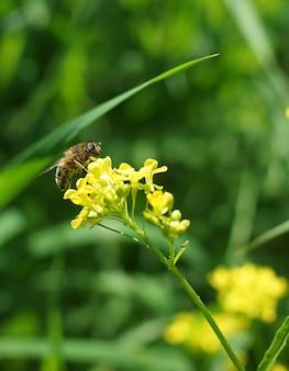 Eine biene bestäubt eine blume, indem sie im sommer pollen sammelt