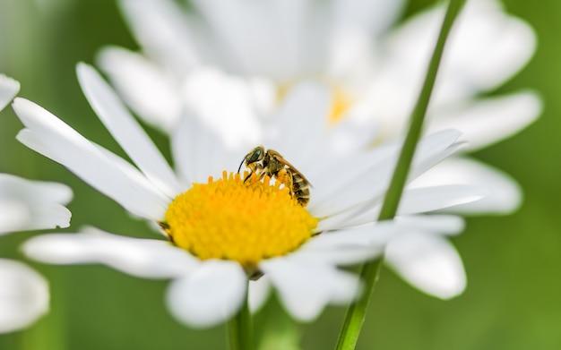 Eine biene, die auf einer blume des weißen gänseblümchens sitzt