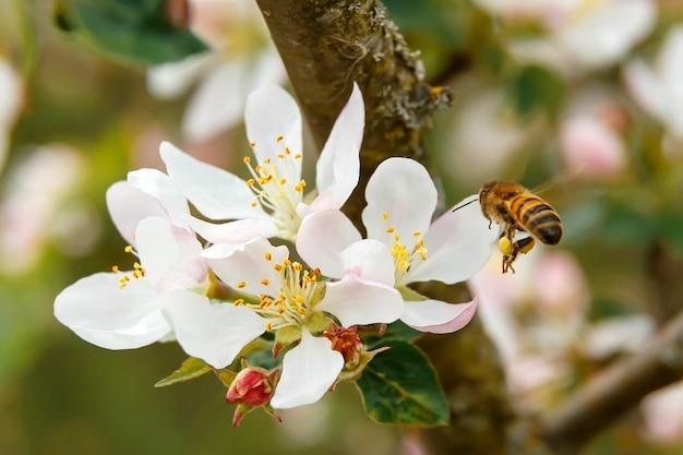 Eine biene, die zur weißen blume eines apfelbaums fliegt
