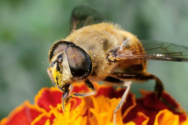 Eine biene sammelt pollen und nektar, honig von einer blume