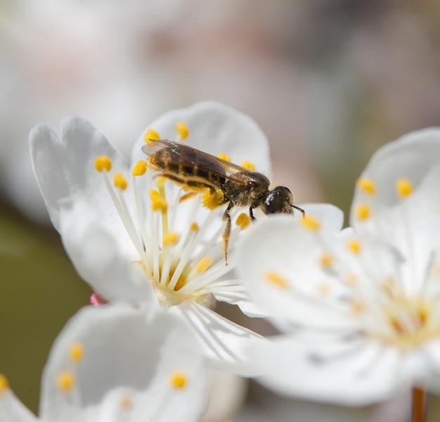 Eine biene sitzt auf einer kirschblume an einem sonnigen frühlingstag. nahaufnahmebiene auf einer weißen blume.