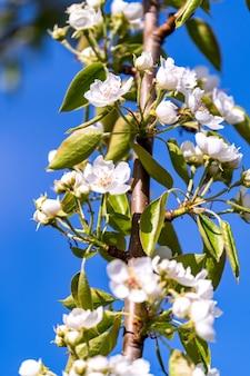 Eine blühende niederlassung des apfelbaums im frühjahr mit schönen weißen blumen unter hintergrund des blauen himmels.