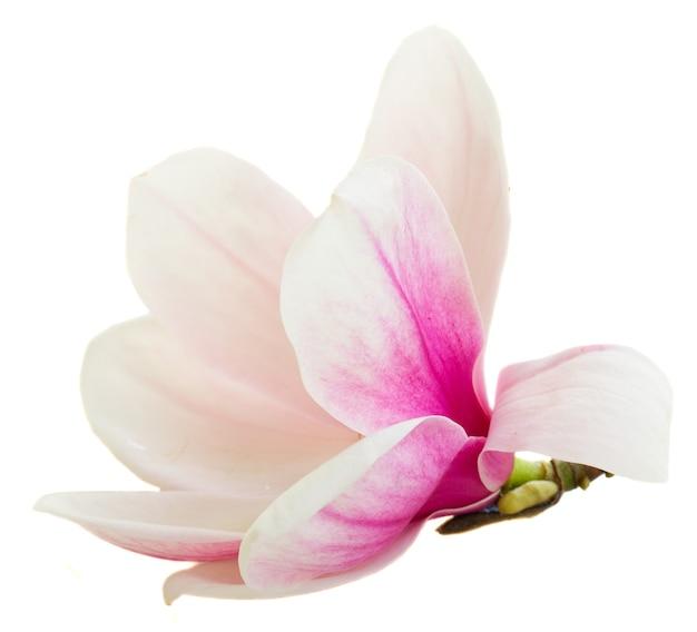 Eine blühende rosa magnolienblütenknospe lokalisiert auf weiß