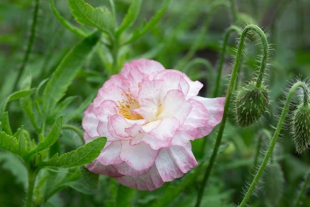 Eine blühende rosa mohnblume im garten.