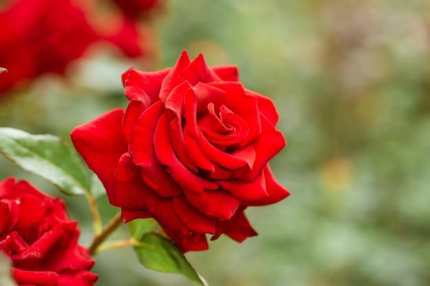 Eine blühende rote rosenknospe auf einem busch im garten