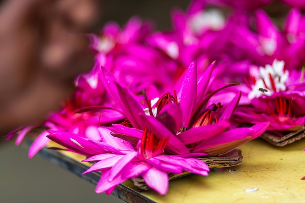 Eine blüte lotus rosa blume hautnah.
