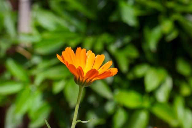 Eine blume der orange ringelblume in der medizin verwendet.