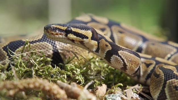 Eine boa constrictor kriecht durch das gras. schlangennahaufnahme. unscharfer hintergrund, 4k uhd.