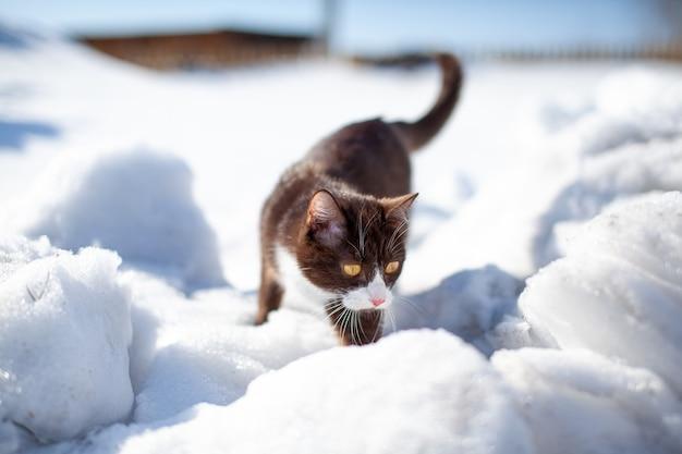Eine braune, flauschige katze macht sich im winter auf den weg durch schneeverwehungen
