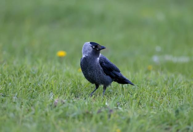 Eine dohle (coloeus monedula) steht im dichten grünen gras. die blauen augen des vogels sind attraktiv