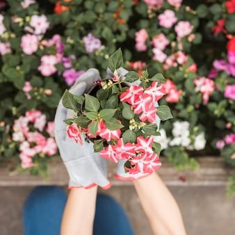 Eine draufsicht der hand des weiblichen gärtners rote blühende pflanzen halten