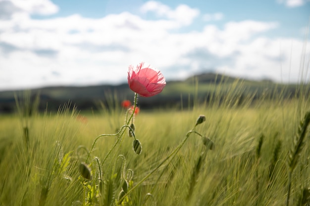 Eine einsame rosa mohnblumenblume auf einem frühjahrgrüngebiet von roggenohren und -weizen gegen einen blauen himmel mit wolken an einem sonnigen tag.