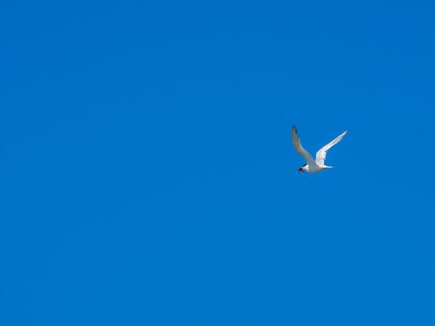 Eine einsame weiße möwe fliegt in den blauen wolkenlosen himmel. die möwe hält den gefangenen fisch im schnabel.