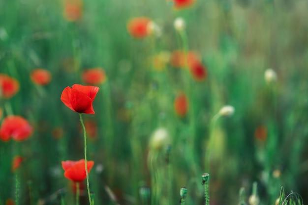 Eine einzelne blume des feldes, roter mohn auf einem grünen gebiet. sanfte, geschlossene knospe der schönen frühlingsmohnblume. weicher fokus. eine blume in der schärfezone. platz für text. exemplar