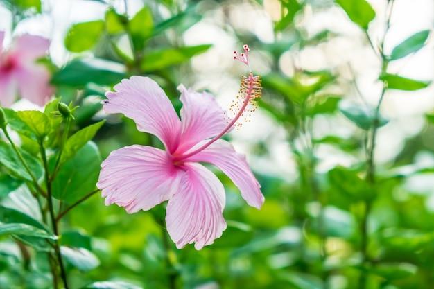 Eine einzelne rosa hibiscusblume auf einem grünen blatthintergrund