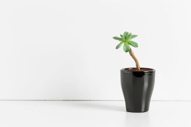 Eine einzelne saftige pflanze im topf