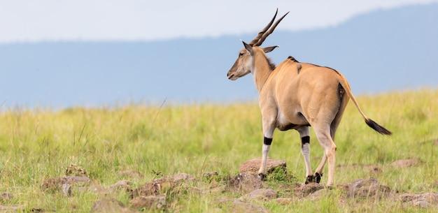 Eine elend-antilope in der savanne zwischen den verschiedenen pflanzen