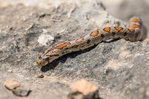 Eine erwachsene leopard-schlange oder europäische ratsnake, zamenis situla, rutscht auf felsen in malta