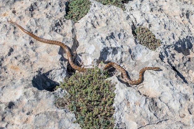 Eine erwachsene leopardenschlange, die auf felsen rutscht