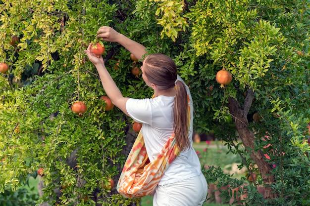 Eine erwachsene weiße frau pflückt reife granatapfelfrüchte von einem baum und erntet sie im frühherbst. oranges licht.