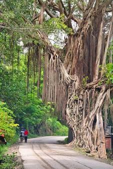Eine familie, die unter riesigen alten bäumen mit lianen geht