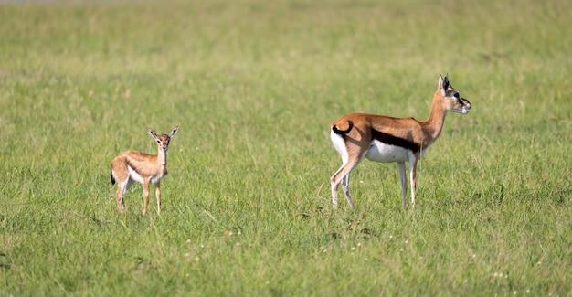 Eine familie von thomson gazellen in der savanne von kenia